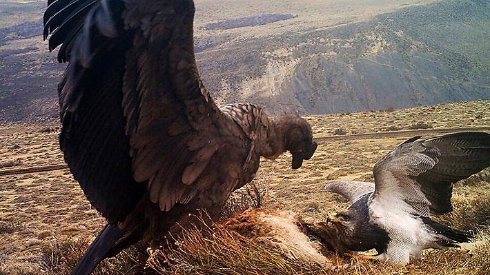 Captan espectacular duelo entre un cóndor y un águila mora en el Parque Nacional Torres del Paine
