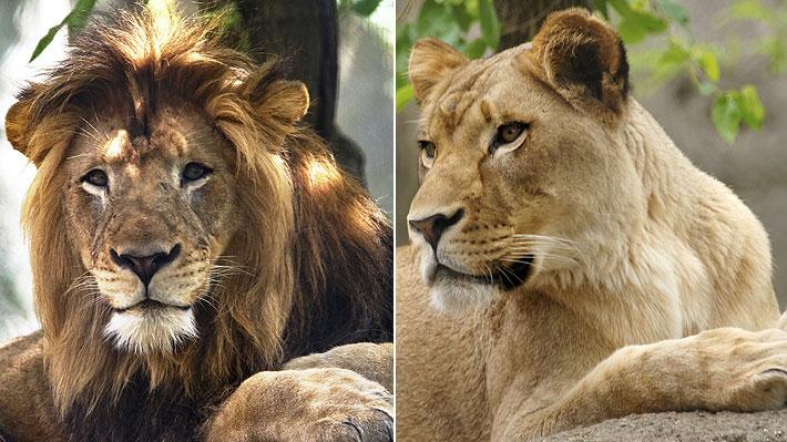 Sus cuidadores no entienden por qué lo hizo: Leona mató al padre de sus tres cachorros en zoológico de EE.UU.