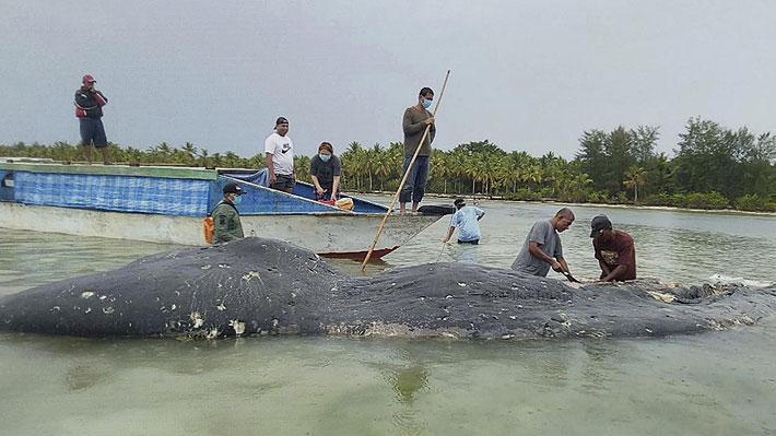 Botellas, bolsas y hasta unas sandalias: Cachalote que varó en Indonesia tenía casi seis kilos de plásticos en su estómago