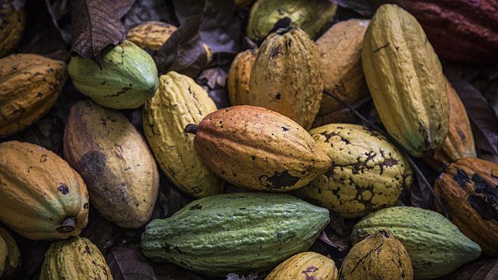 La cronología de la crisis del cacao que golpea a su principal productor