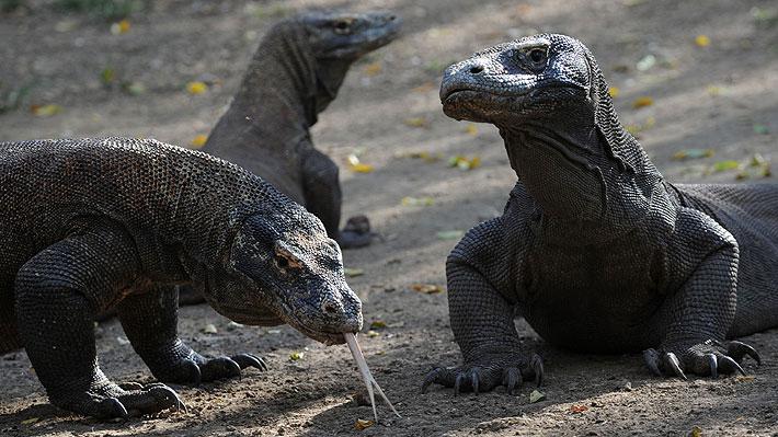 Político indonesio propone cobrar US$ 500 a cada turista que quiera conocer a los dragones de Komodo en su hábitat natural