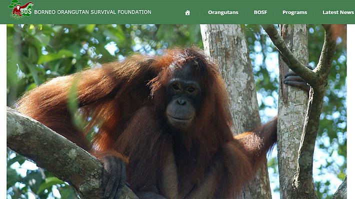 La impactante historia de Pony, una orangutana de Borneo que fue rescatada de un burdel en Indonesia
