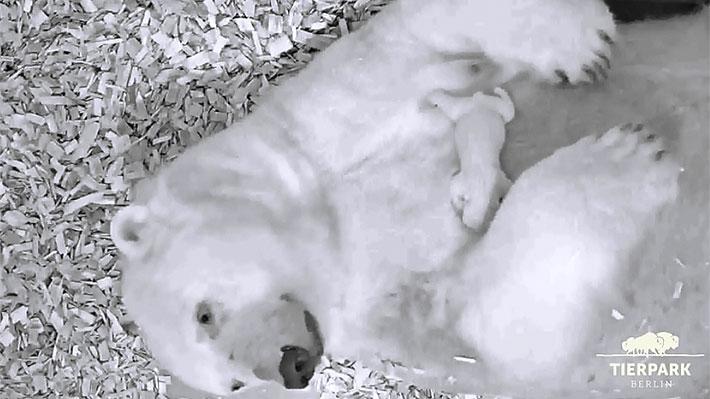 Cría nació el sábado: Zoológico Tierpark de Berlín le da la bienvenida a un nuevo oso polar