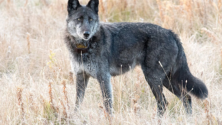 "Famosa loba del parque Yellowstone murió ""legalmente"" en manos de un cazador de trofeos"