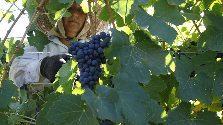 Gremios agrícolas advierten que irregularidades en producción de vino chileno afectarían su calidad