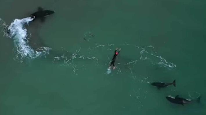 Video: Captan el increíble momento en que una mujer nada junto a tres orcas