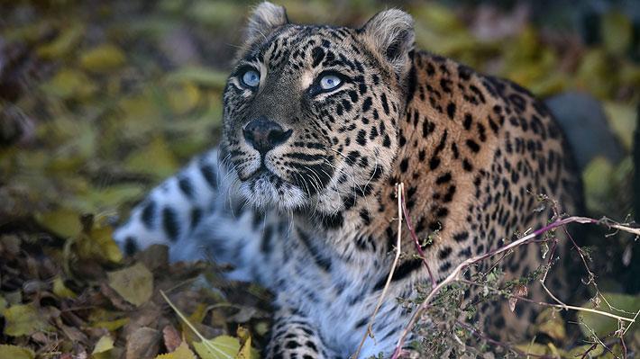 Niño de tres años muere tras ser atacado por un leopardo en India