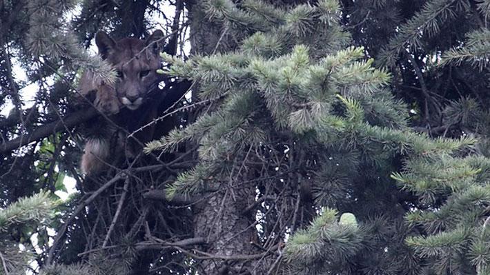 Tras más de 15 horas, bajan a puma que se encontraba atrapado en árbol de casa en Lo Barnechea