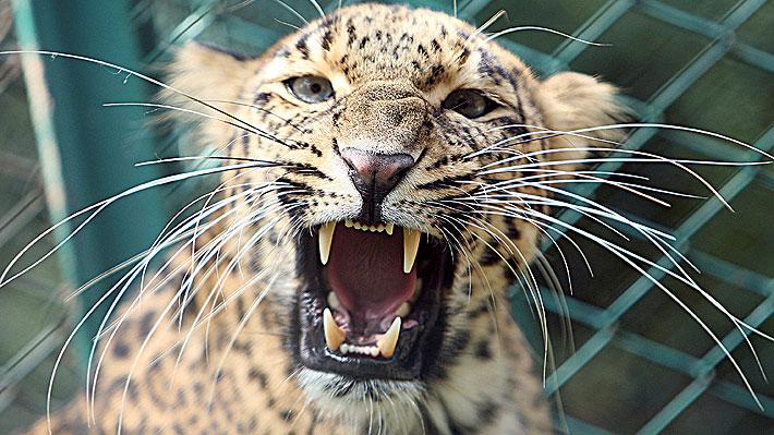 Drones, elefantes entrenados y guardabosques buscan intensamente a un leopardo que escapó de un zoológico en India