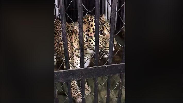 Leopardo que escapó de zoológico en India, regresó solo a su jaula: Estaba hambriento y herido