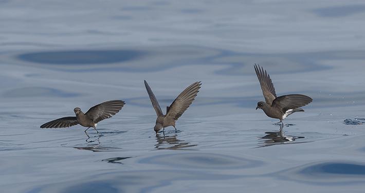 Libro recopila y describe a las espectaculares aves oceánicas que se pueden divisar en las costas chilenas