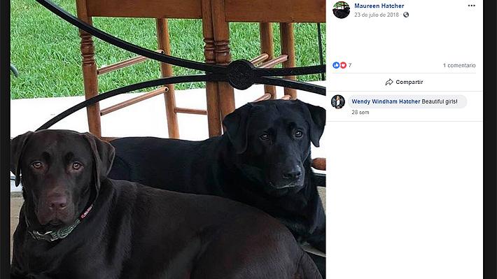 Labradores salvaron la vida de su dueña cuando sufría un ataque cerebral en EE.UU