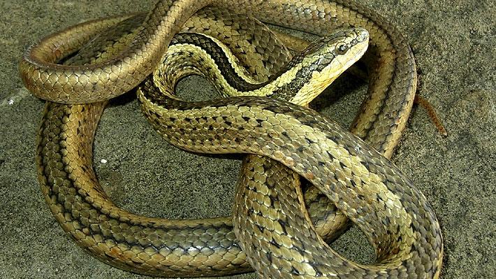Policía indonesia se disculpó por utilizar una serpiente para interrogar a un acusado de robo