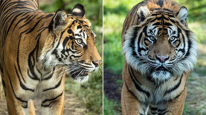 Tigre mató a la hembra con la que estaba previsto que se reprodujera en un zoológico en Londres
