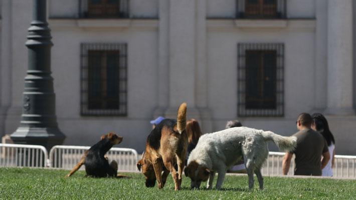 Perros callejeros es la principal preocupación urbana: En Calama, Iquique y Osorno es donde se considera más grave