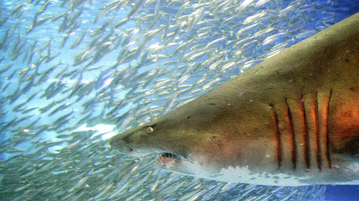 Surfista fue mordido en la cabeza por un tiburón en Brasil: fue operado durante cinco horas y recibió 33 puntos