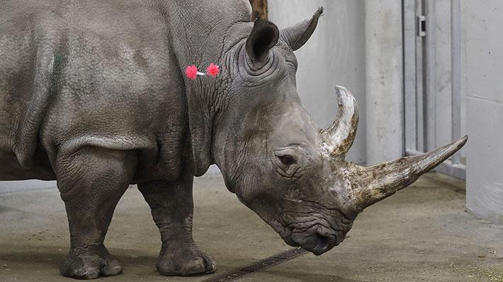 Científicos estudian usar una madre subrogada para evitar la extinción del rinoceronte blanco del norte