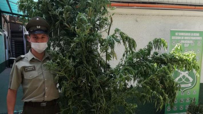Incautan 27 plantas de marihuana en La Reina: Algunas superaban los tres metros de altura