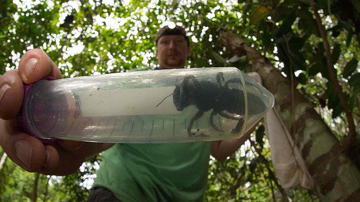Hallan en Indonesia un ejemplar de la abeja más grande del mundo: había sido vista por última vez en 1981