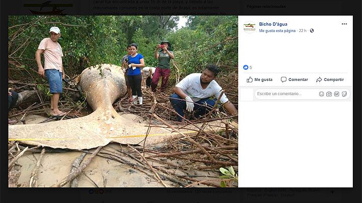 Ballena jorobada es hallada muerta en medio de la selva amazónica lejos de su hábitat natural