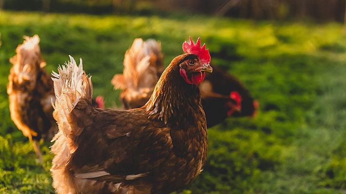 """Producción de huevos de """"gallinas felices"""" se dispara 100% en el último año y se abre debate en torno a la certificación"""