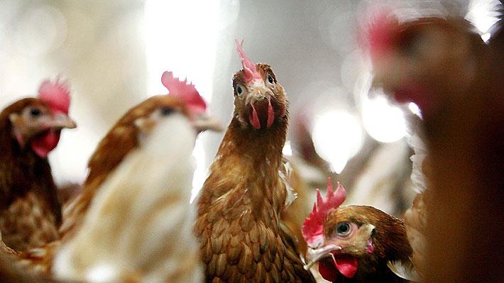 ¿Se fiscaliza a los productores de huevos de gallinas libres?: Actores de la industria abordan los defectos de la normativa en Chile