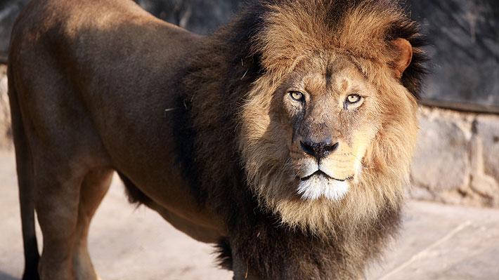 Hombre murió tras ser atacado por uno de los leones que criaba sin autorización en República Checa