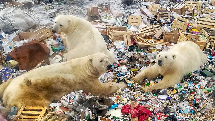 Galería: la problemática de los osos polares amenazados por la creciente presencia humana en el Ártico ruso
