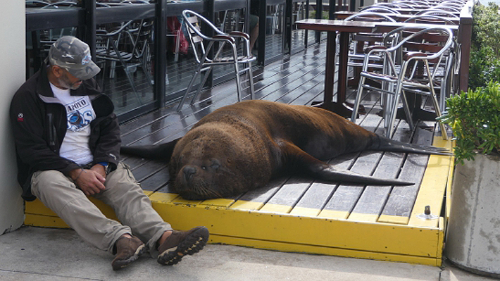 Ciudadanos de Punta del Este quedaron sorprendidos con inusual visita de lobo marino: se acostó en un lujoso automóvil