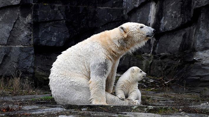 Galería: Cría de oso polar debuta en público en el Zoológico Tierpark de Berlín