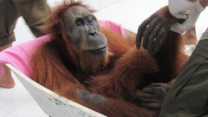 Orangutana quedó ciega tras brutal ataque con balines en Sumatra: recibió al menos 74 impactos