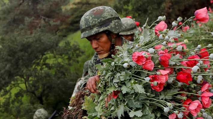 Galería: México busca detener el comercio de heroína, pero las amapolas no dejan de florecer
