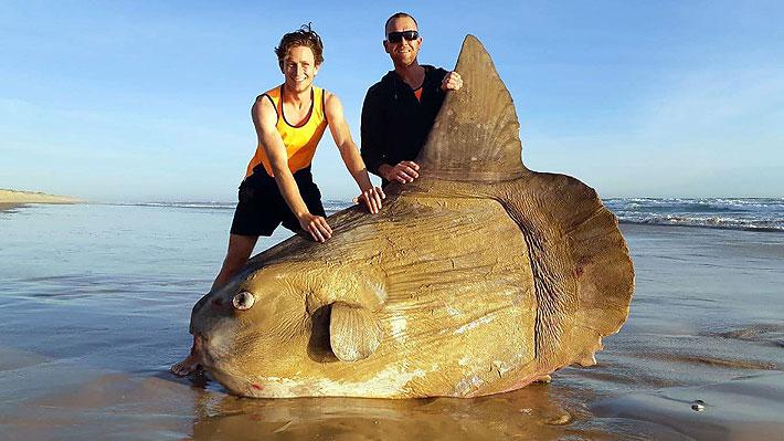 Encuentran un enorme ejemplar de pez luna en una playa australiana