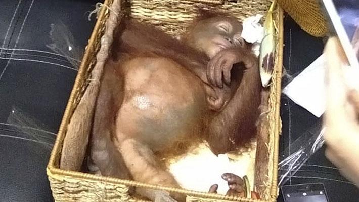Detienen a turista que intentó sacar a un orangután de Indonesia: lo llevaba sedado en una canasta de ratán