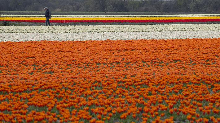 Productores de tulipanes en Holanda protegen sus flores ante la masiva llegada de turistas buscando selfies