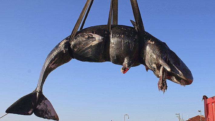 Ballena preñada murió en la costa italiana: tenía 22 kilos de plástico en su estómago