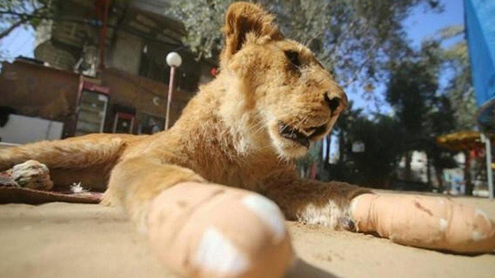 Zoológico de Gaza mutiló con tijeras de jardín las patas de su leona para que visitantes pudieran jugar con ella