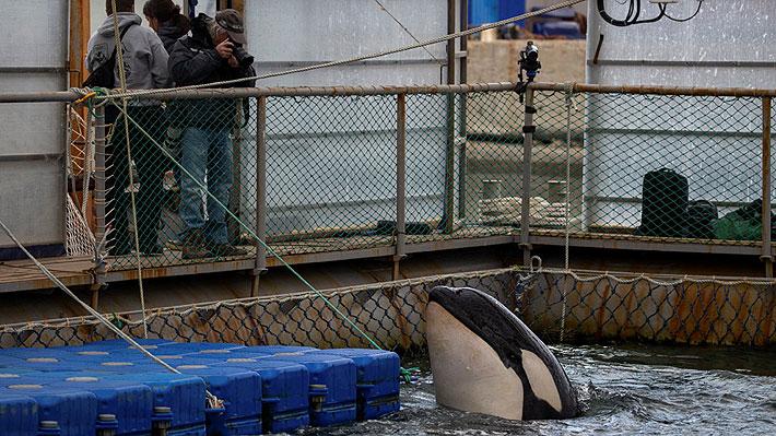 """Rusia liberará a ballenas y orcas que mantiene retenidas en la mayor """"cárcel"""" de cetáceos del mundo"""