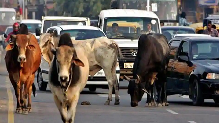 Galería: Proliferación de vacas callejeras debido a políticas públicas causa graves problemas en India