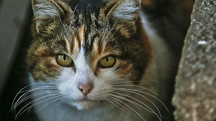 Estudio demuestra que los gatos domésticos son capaces de reconocer el sonido de sus nombres