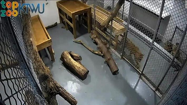 Un tigre ataca y deja con múltiples heridas a su cuidadora en zoológico de Estados Unidos