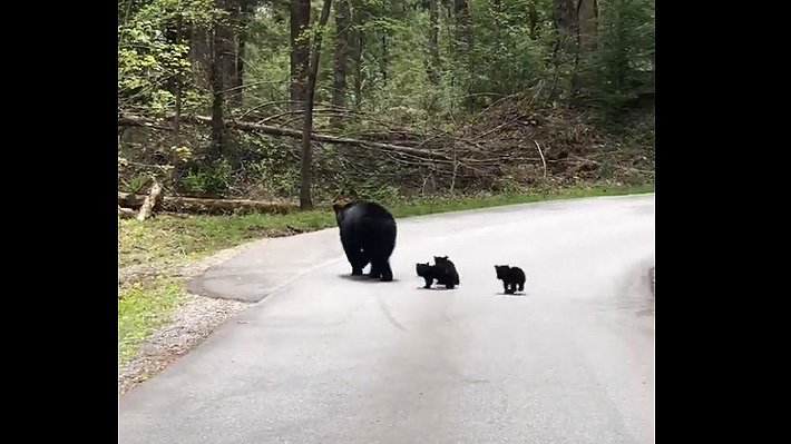 Una mamá osa fue captada en medio de una carretera mientras cruzaba con sus cachorros en Estados Unidos