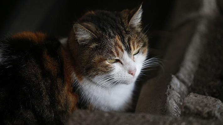 Las razones que tiene el Gobierno australiano para sacrificar casi dos millones de gatos salvajes antes de 2020