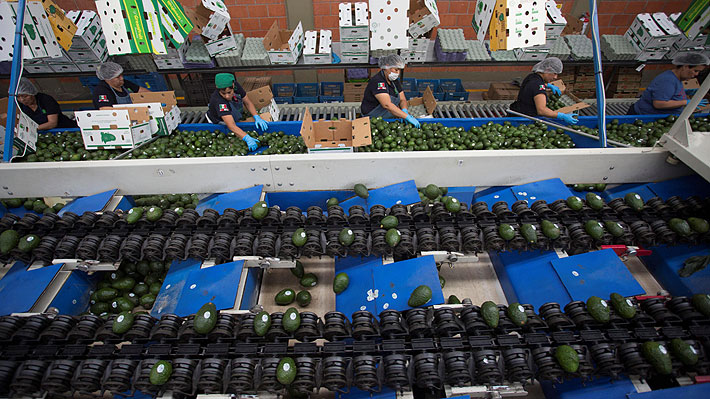 EE.UU. y amenaza arancelaria a los productos importados desde México: ¿Podría la palta chilena verse beneficiada?