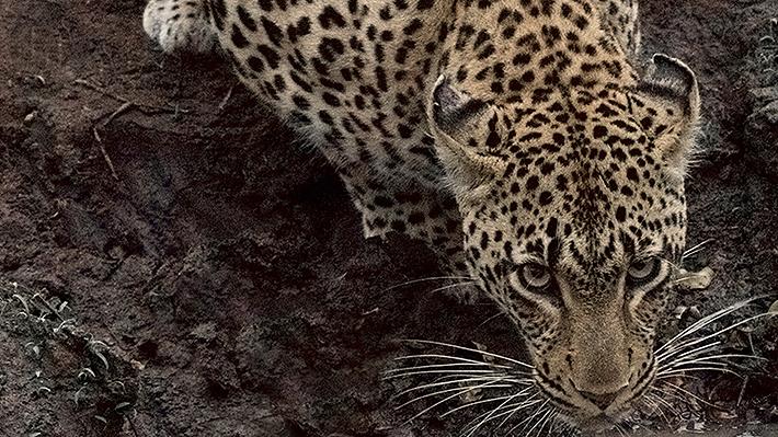Niño de dos años murió tras ser atacado por leopardo en parque de Sudáfrica: las autoridades tuvieron que sacrificar al animal
