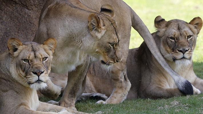 Manada de 14 leones escapó desde el famoso Parque Kruger en Sudáfrica