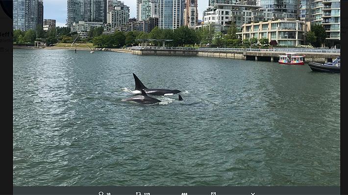 Video: Orcas fueron avistadas muy cerca de la costa en una bahía de Canadá
