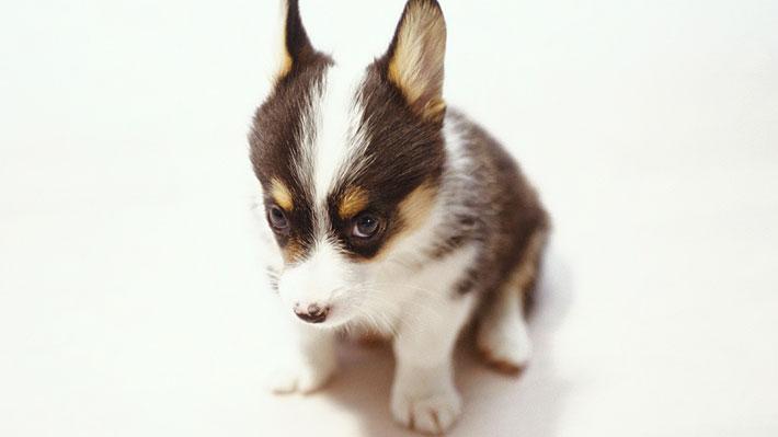 Científicos creen haber descubierto cómo los perros logran la mirada enternecedora con la que consiguen protección