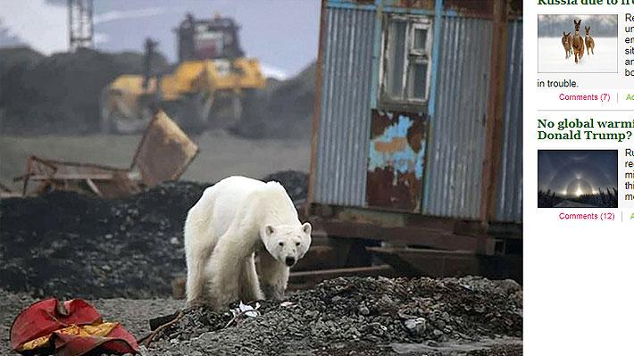 """Un demacrado oso polar llega hasta una ciudad rusa buscando alimento: """"Era casi incapaz de caminar"""""""