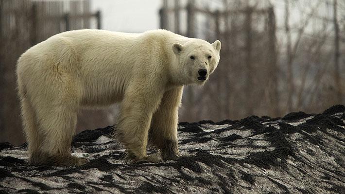 Capturan a oso polar que llegó hasta ciudad rusa: es una hembra y su estado de salud es precario